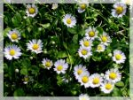 Flowers- daisy by JOhanka1412