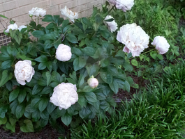 White Peonies (cropped) by RavenRechior