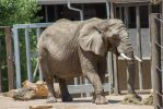 African Elephant 3 by CastleGraphics