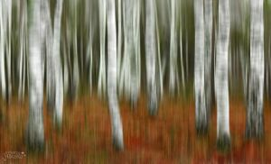 Birches trees abstract by AStoKo