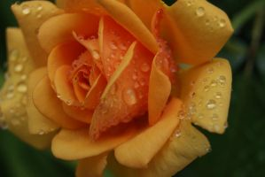 Raindrops on Roses... by Kingy2192