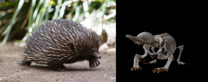 Short-beaked echidna by Exifia