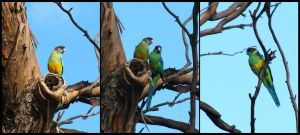 37. Mallee Ringnecks by fire-works