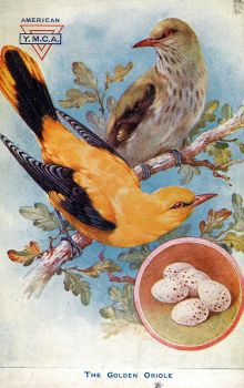 Golden Oriole by Yesterdays-Paper