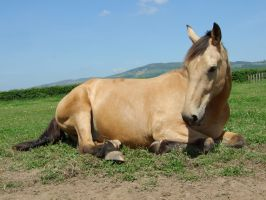 Flye Lying Down - 1 by EquinePhotoandStock