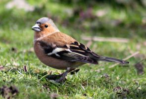 Male Chaffinch by S4MMY4RT