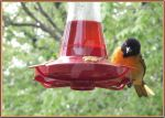 Oriole at Hummingbird Feeder by Taures-15