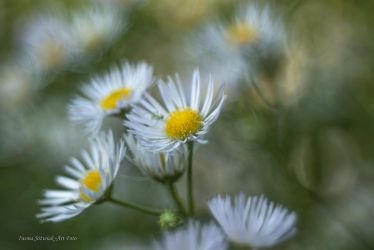 white flowers... by mirandaarts