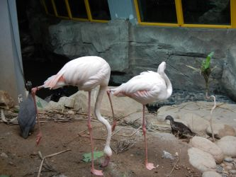 Flamingoes by ashy-stock