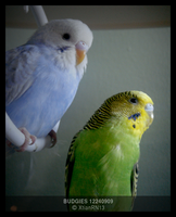 Budgies 12240909 by XtianRN13