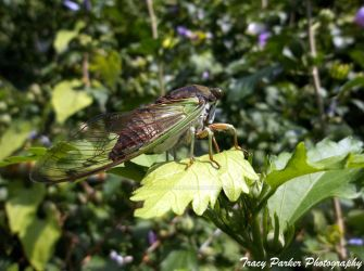 Cicada 2013 by StrawberryBurns