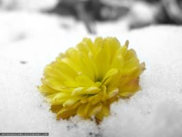 Yellow flower in the snow by ArthurGautama