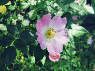 Wild rose by Hekkoto