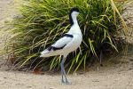Avocet by UdoChristmann