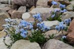 Omphalodes lojke by Laerian