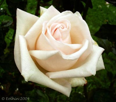 Simple White Rose 044 by Eolhin