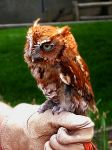 One-Eyed Screech Owl II by Utukki-Girl