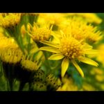 Yellow flowers by Lobotomized