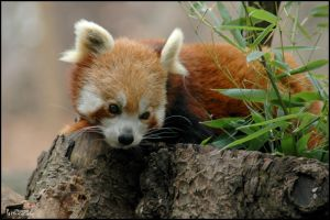 Red Panda by PBPhoenix