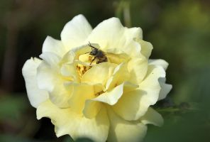 Golden Rose by OfTheDunes