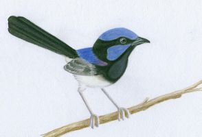 superb fairy wren by shesasheep
