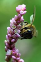1393 Bee at work by RealMantis