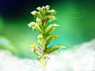 Onion Orchid by ceredwyn