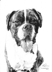 Buddy the Boxer by ScenicSarah