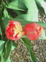 Red Tulips by A7XFan666
