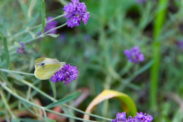 Lavender Butterfly by Anonimus79