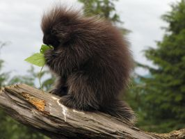 North American Porcupine by ShadowsStocks