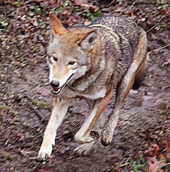 Red Wolf Stock 54: Running by HOTNStock