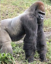 Silverback Gorilla by downunder4him