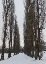 Snow and Poplars by tonks204