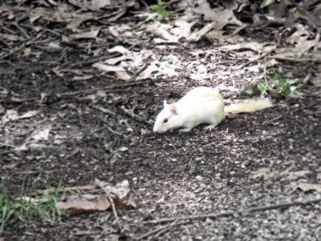 Albino Chipmunk by AwakeYourSoul