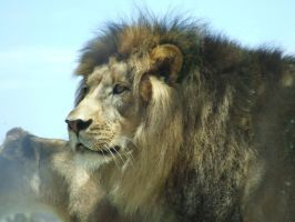 Lion Male - up close 1 by dtf-stock
