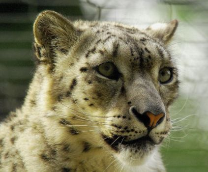 Snow Leopard 6 by shaunthorpe
