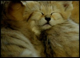 sand cat: a sleep of innocents by morho
