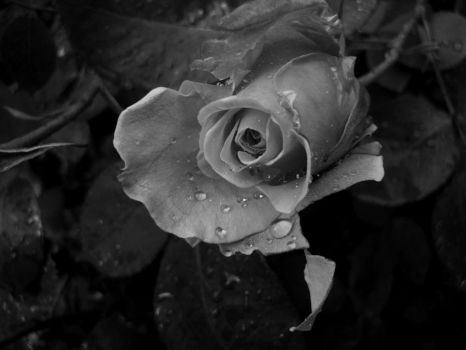 Rose B+W by ANDMAiYESi1986