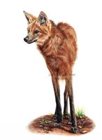 Maned wolf colored pencil by LeontinevanVliet