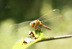 Dragonfly III by valiunic