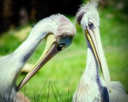 Pink Backed Pelicans by LisaAnn1968