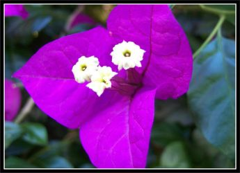 Bougainvillea by furto