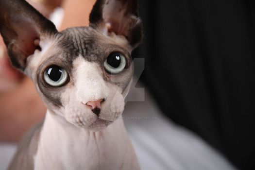 Sphynx Cats - 1 by xx-trigrhappy-xx