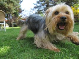 Playful Yorkshire Terrier by Pattarchus