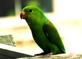 Parakeet by jables358