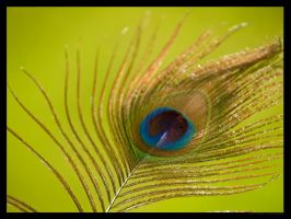 Peacock feather by FT69