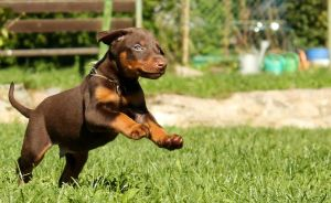 Doberman Puppy by Doberman4Life