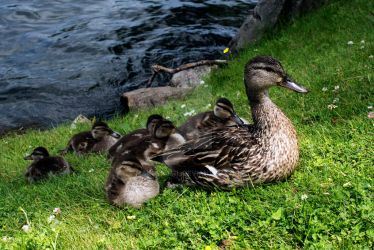 Ducklings by MauserGirl