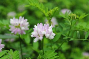 Crown Vetch by ExtremoPenguin
